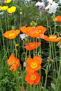 Papaver x summer breeze orange -2439
