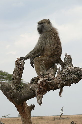 Olive baboon - By climbing trees, individuals can act as a lookout to detect predators.
