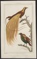 Paradisea apoda - 1838 - Print - Iconographia Zoologica - Special Collections University of Amsterdam - UBA01 IZ15700133.tif