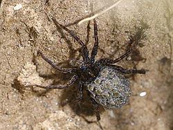 edderkopper underart