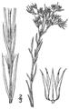 Paronychia canadensis BB-1913-2.png