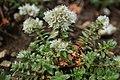 Paronychia cephalotes (49253085268).jpg