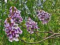 Paulownia-kawakamii-flowers.jpeg