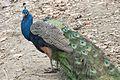 Pavo cristatus - Indian Peafowl, Adana 2016-12-16 01-4.jpg