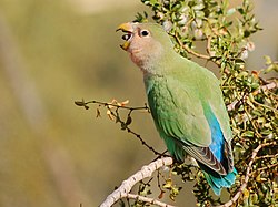 Peach-faced Lovebird -eating seeds from tree.jpg