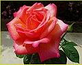 Peach Rose 3-25-14d (13629967835).jpg