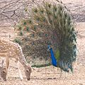 Peacock trying to shoe away chital.jpg