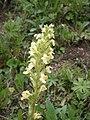 Pedicularis elongata RHu 02.JPG