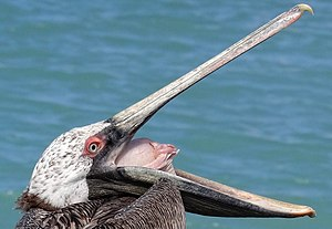 Pelican - A brown pelican opening mouth and inflating air sac to display tongue and some inner bill anatomy.