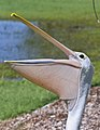 Pelican and his Bill-01and (3416684622).jpg