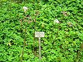 Peltiphyllum peltatum - Berlin Botanical Garden - IMG 8635.JPG