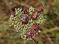 Pentatomidae - Graphosoma lineatum italicum.JPG
