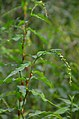 Persicaria hydropiper (7977451896).jpg