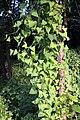 Persicaria perfoliata 5.JPG