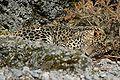 Persischerleopardcele4.jpg