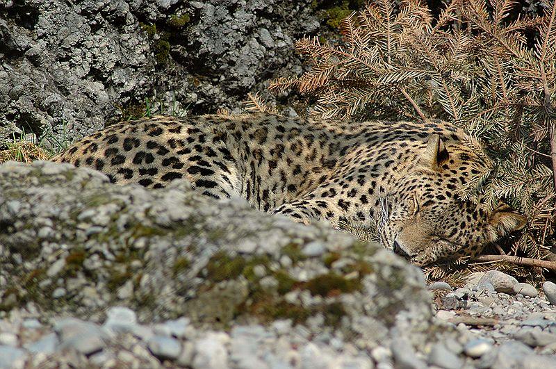 800px-Persischerleopardcele4.jpg (800×531)