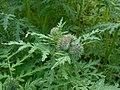 Phacelia tanacetifolia 2017-05-23 1271.jpg