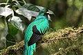 Pharomachrus mocinno Monteverde 11.jpg