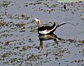 Pheasant-tailed Jacana (Hydrophasianus chirurgus)- Breeding in Hyderabad, AP W IMG 7623.jpg
