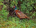 Pheasant alongside West End lane - geograph.org.uk - 1538280.jpg