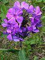 Phlox paniculata Tatjana20140704 022.jpg