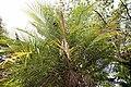 Phoenix roebelinii 0zz.jpg