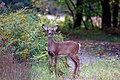 Photo of the Week - White-tailed yearling (NH) (6418883495).jpg