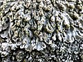Physconia grisea 85368764.jpg