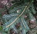 Picea chihuahuana 2.jpg