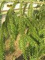 Picea orientalis zampach2.JPG