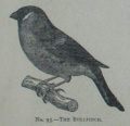 Picture Natural History - No 93 - The Bullfinch.png