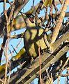 Picus viridis (no).jpg