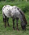 Pie Ball Horse Grazing-01+ (2144137911).jpg