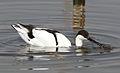 Pied Avocet, Recurvirostra avosetta at Marievale Nature Reserve, Gauteng, South Africa (21024333882).jpg