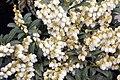 Pieris japonica Sarabonde 3zz.jpg