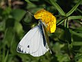 Pieris napi ♂ - Green-veined white (male) - Брюквенница (самец) (39367282550).jpg