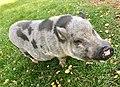 Pig swine Norway 2017-09-16 01.jpg