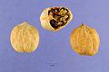 Pignut-hickory-nut.jpg
