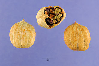 Carya glabra - Pignut hickory nuts