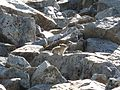 Pika on rocks (8137628714).jpg
