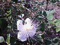 PikiWiki Israel 17888 Plants of Israel.jpg