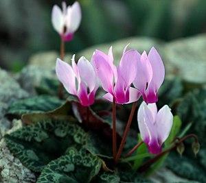 Cyclamen persicum - Image: Piki Wiki Israel 30632 Plants of Israel