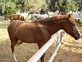 PikiWiki Israel 4373 horses in ramat gan.jpg