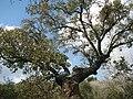 PikiWiki Israel 7361 oak tree in tivon.JPG
