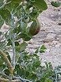 PikiWiki Israel 8865 Plants of Israel.jpg