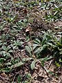 Pilosella officinarum 2021-09-08 1443b.jpg