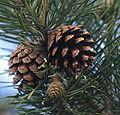Pine cones - Scots Pine.jpg
