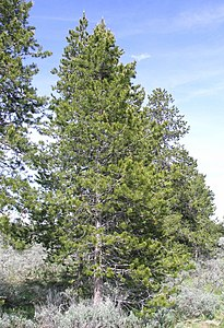 Pine tree atop Signal Mountain.JPG