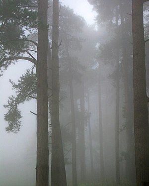 English: Pine trees in the fog