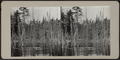 Pine wetlands in Adirondack region, from Robert N. Dennis collection of stereoscopic views.png